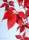 Virginia Creeper and Berries 1